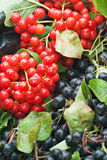 Currant. Red and blue currant on the branch Royalty Free Stock Photos