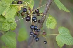 currant foto de stock royalty free