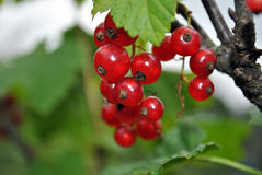 Currant. The branch of a ripe red currant grows on a bush Stock Photography