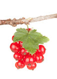 Currant. Red currant, isolated on white background royalty free stock image
