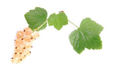 Currant. White currant on white background Royalty Free Stock Images