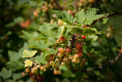 Currant berries Royalty Free Stock Photos