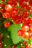 Currant berries Stock Photo