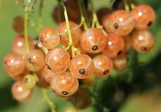 Currant, Berry, A Bunch Of, Health Royalty Free Stock Image
