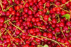 Currant berry Stock Photography
