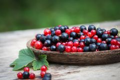 Currant black blue and red in garden Royalty Free Stock Image