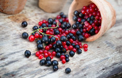 Currant black blue and red in garden Stock Image