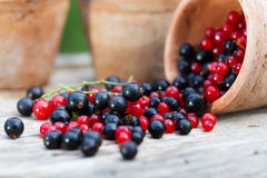 Currant black blue and red in garden Stock Photography