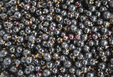 Currant black royalty free stock image