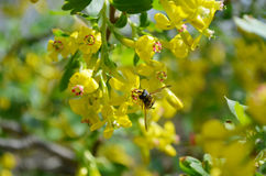 Currant. Blossom of the currant bush with working bee stock image
