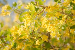 Currant Blossoms Ribes nigrum Soft Yellow Blooms. Fresh Light Spring Scene Royalty Free Stock Photography