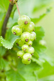 Currant on a branch Stock Photography