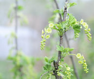 Currant branch blooming. Spring fruit Garden Stock Photography