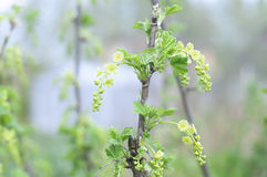 Currant branch blooming. Spring Garden Stock Photo