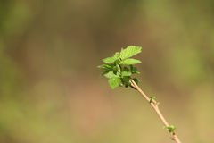 Currant branch Royalty Free Stock Photos
