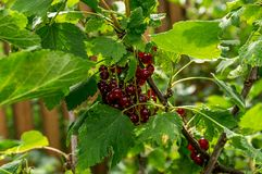 Currant bunch on green leaves background Selective Royalty Free Stock Photography