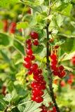 Currant bush Stock Image