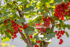 Currant bush with berries in web Royalty Free Stock Images