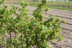 Currant bush Royalty Free Stock Photography