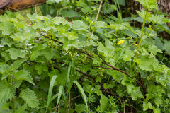 Currant bush in spring with green berries. A currant bush in spring royalty free stock image