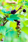 Currant cluster on a branch Stock Photos