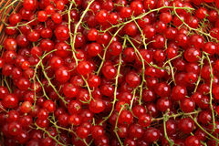 Currant different shades of bright red color. Juicy, raw, fresh, tasty, healthy, nutritious concept. Berries for vegetarian food. Stock Photography