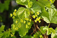 Currant flowering in spring Royalty Free Stock Photography