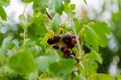 Currant in foliage. Ripe black currant on a bush stock images
