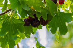 Currant in foliage. Ripe black currant on a bush royalty free stock photo