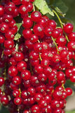 Currant fruits Stock Photo