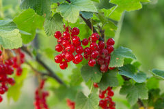 Currant in garden Royalty Free Stock Photography