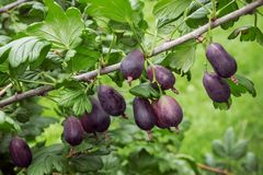 Currant and gooseberry hybrid gives large and tasty berries stock image