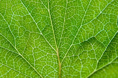 Currant green leaf texture macro. Close-up Royalty Free Stock Photos