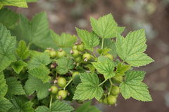 Currant with green unripe berries. Currant bush with green unripe berries Stock Photos