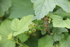 Currant with green unripe berries. Currant bush with green unripe berries Royalty Free Stock Photos