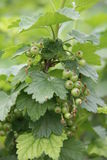 Currant with green unripe berries. Currant bush with green unripe berries Royalty Free Stock Photography