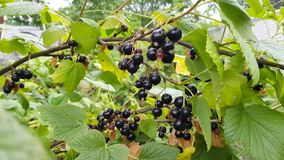 Currant grows on a bush. Black currant grows on a bush among lush green foliage. green berries are ripening nearby stock video footage