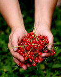Currant. Hands full of red currants Stock Photography