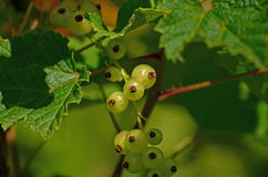 Currant. Illuminated by the sun fruits Royalty Free Stock Images