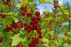 Currant. Illuminated by the sun fruits Royalty Free Stock Photo