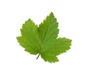 Currant leaf. Stock Photos