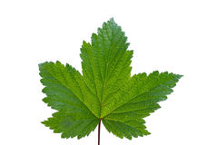 Currant leaf Royalty Free Stock Photography