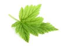 Currant leaf closeup. Stock Photos