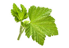 Currant leaf closeup Stock Image