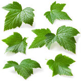 Currant leaf isolated. Collection Royalty Free Stock Image