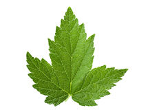 Currant leaf isolated Stock Photos