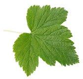 Currant leaf Royalty Free Stock Photos