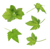 Currant leaf isolated Stock Image