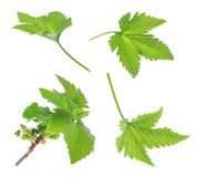 Currant leaf isolated Stock Photography