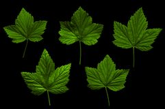 Currant leaves on black background. Isolate. Green leaf stock photography